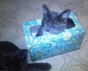cat in a tissue box